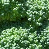 Billede broccoli