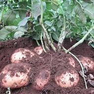 Reduzindo doenças da pele da batata