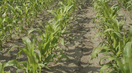 Crecimiento de la planta del maíz