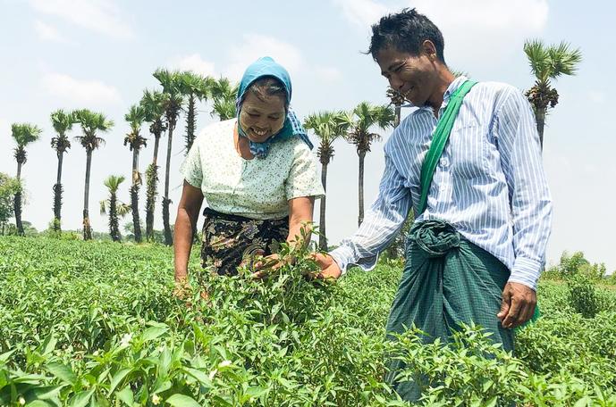 Chili in Myanmar