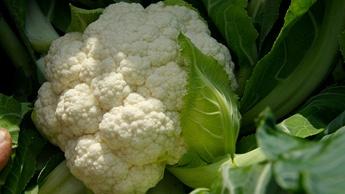 Cauliflower Brassica