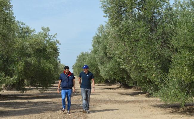Cómo aumentar la producción de olivo