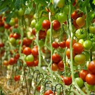 Tomato Salinity