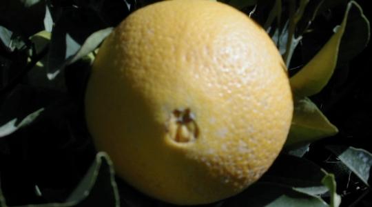 如何调控柑橘果皮厚度