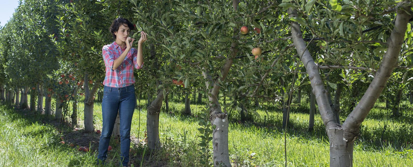 Program nawożenia jabłoni