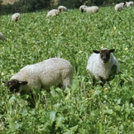 Sheep in Stubble Turnips
