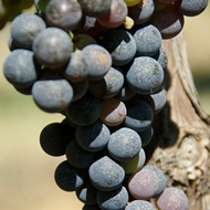 Managing Wine Grape Sweetness