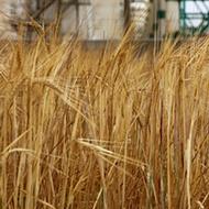 Barley Classifications
