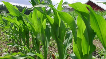 Maize Crop Nutrition