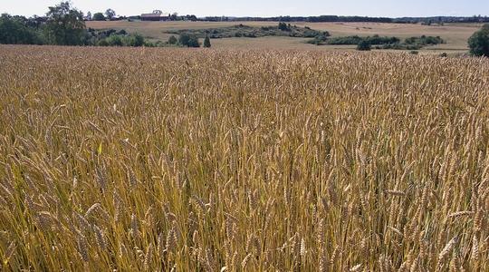 Hvede - Den korrekte timing i brugen af næringsstoffer