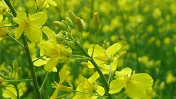 Increasing Oilseed Rape Yields with Chafer Nufol