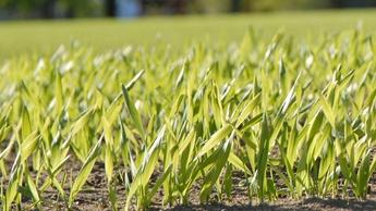 Spirende hvete koser seg i solen.