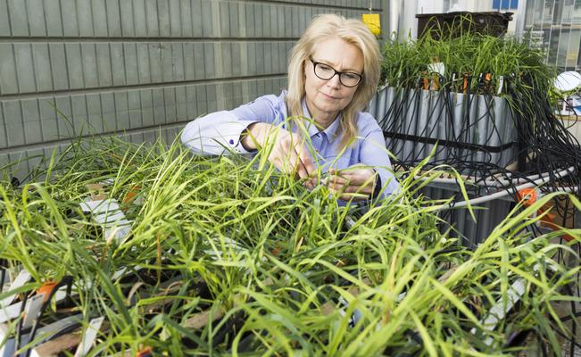 Mervi Seppänen tutkii nurmen juuristoa Helsingin yliopiston kasvihuoneessa.