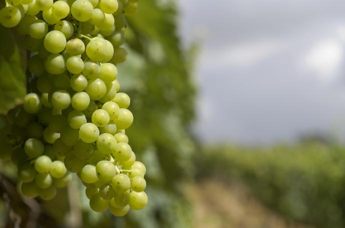 Rendimiento uva de mesa