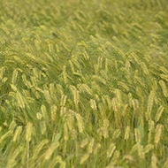Influencing Barley Grain