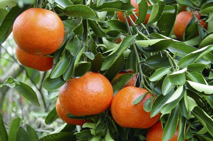 影响柑橘品质的因素