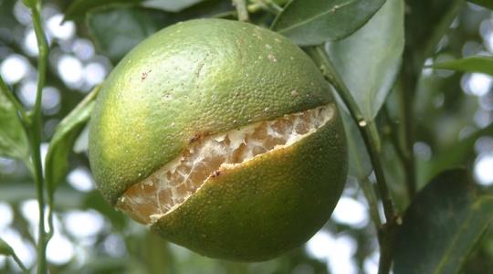 Preventing Citrus Peel Splitting