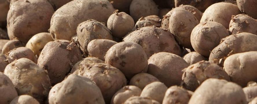 Programas de fertilización en el cultivo de papa