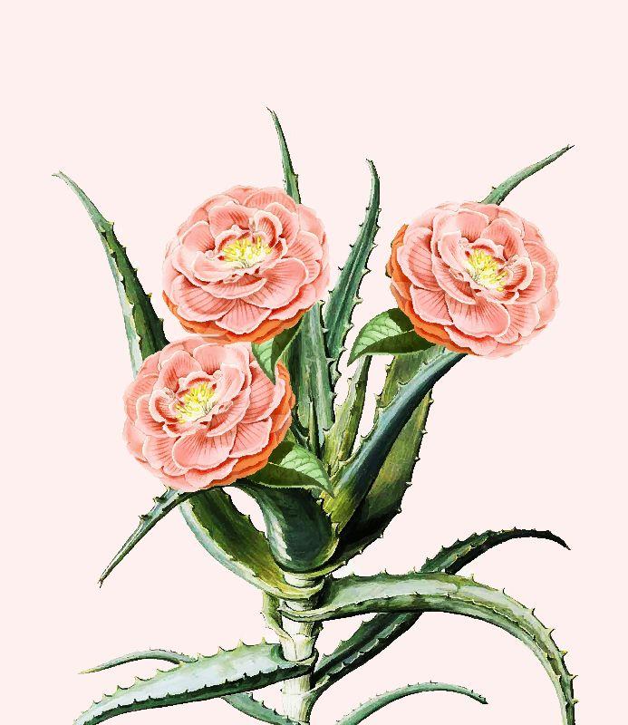 Blush Cactus V2