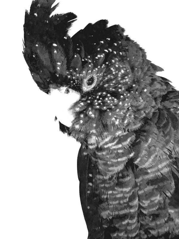 Black and White Cockatoo