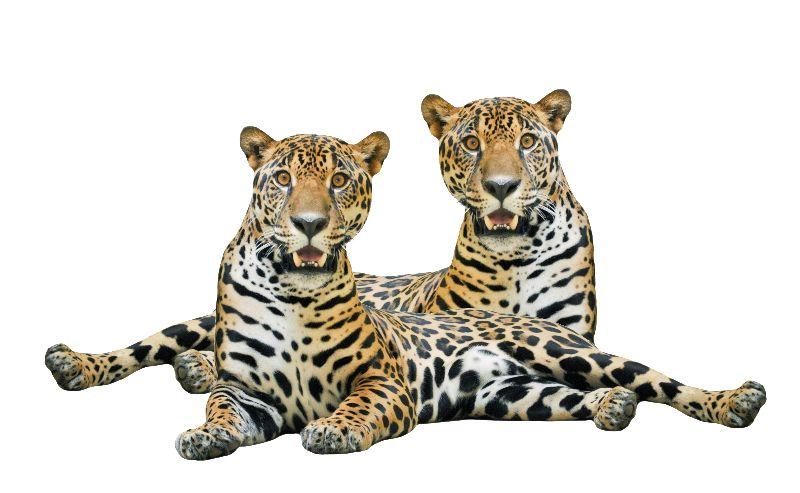 Twin Jaguars