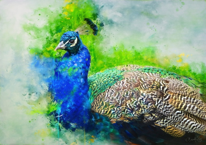 Painted Peacock