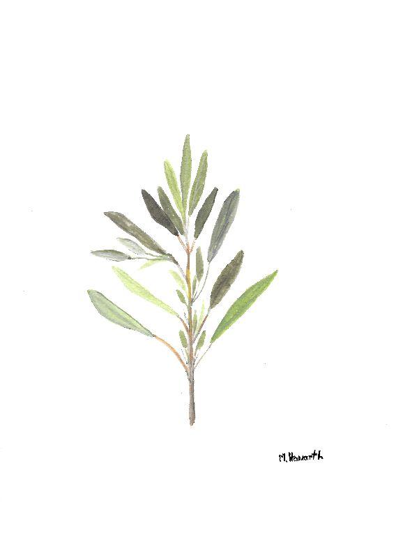 Sage herb watercolour