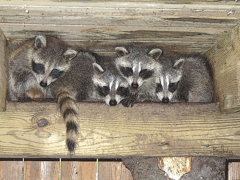 Raccoons in the Rafters