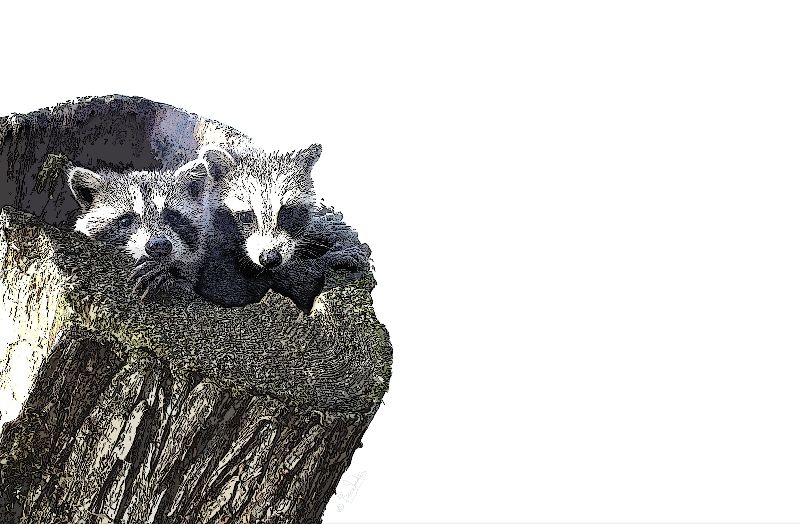 Two Raccoon Kits in aholl