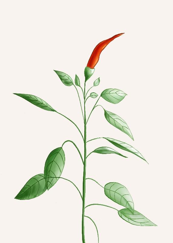 Hot Chili Pepper Plant