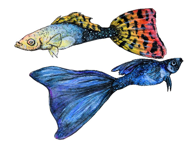Guppy pair