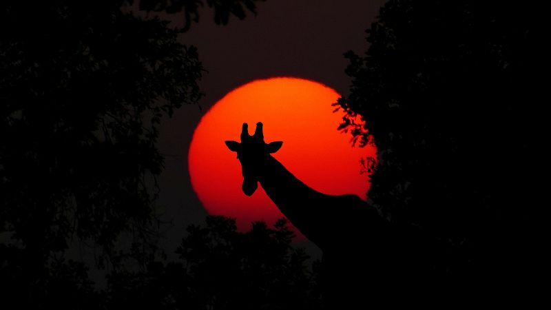 Sunset Giraffe Photo