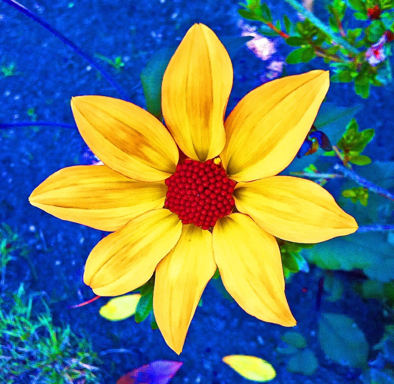 Yellow flower on blue