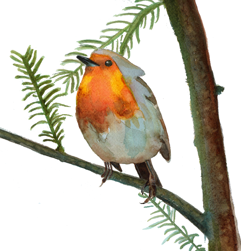Robin Redbreast on a Pine