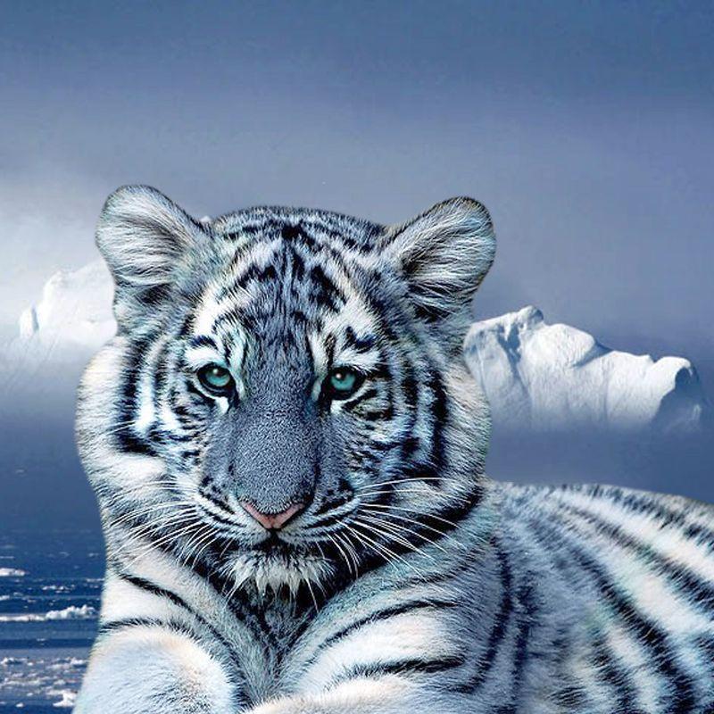 Blue White Tiger