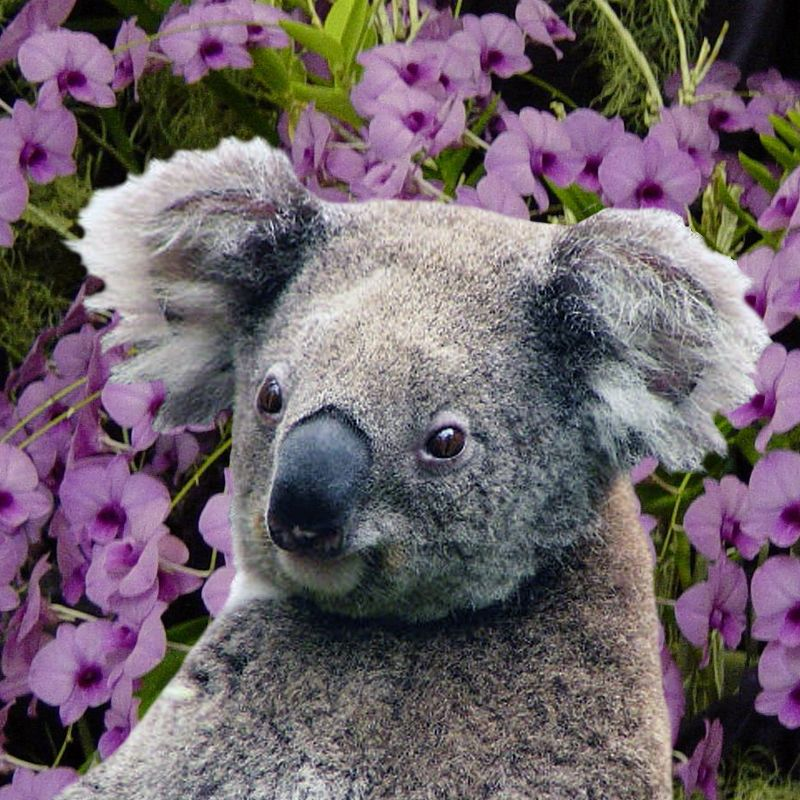 Koala and Orchids