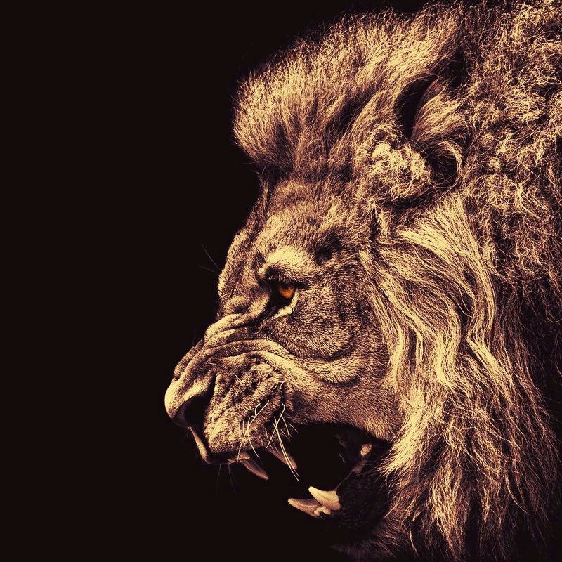 Angry male lion gold