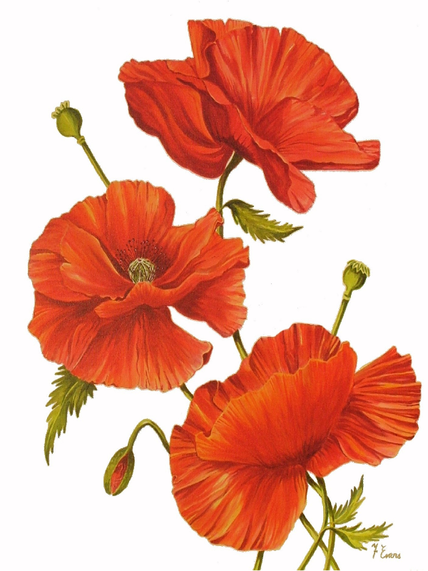 Poppies on White