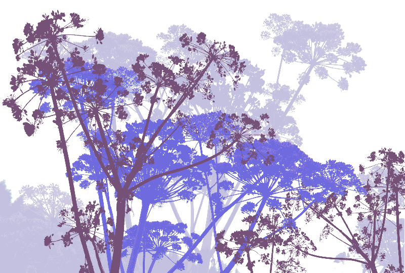 cow parsley purple