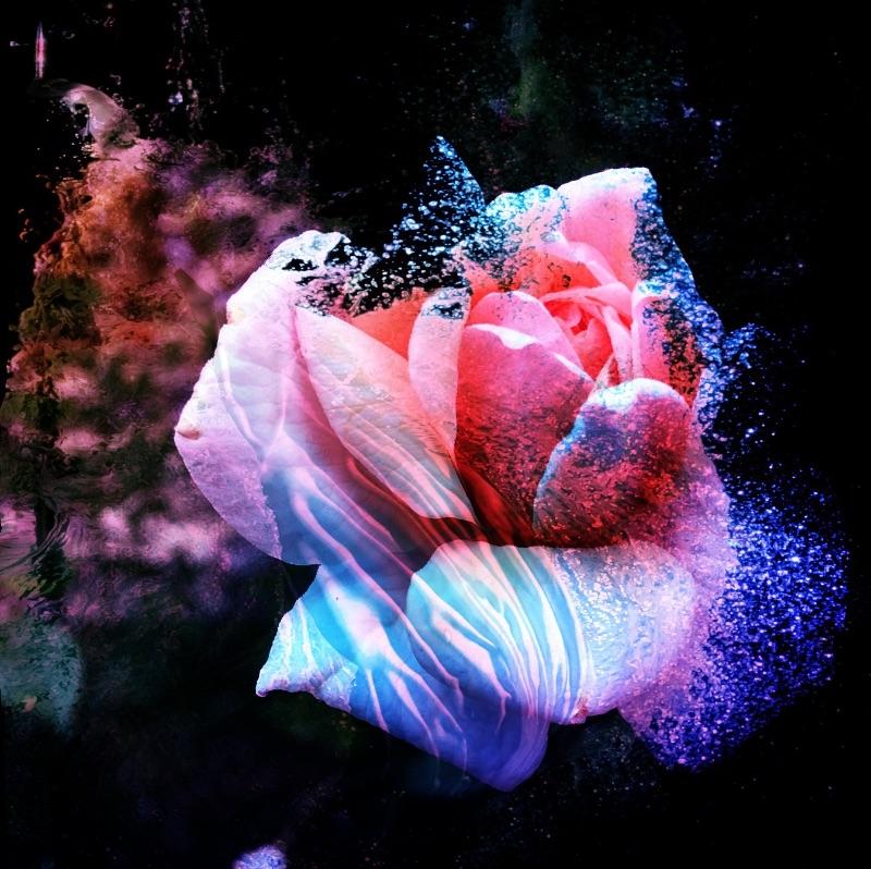 Aqua Pink Rose