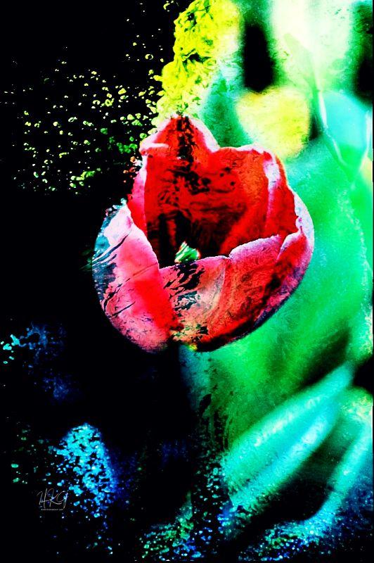 Aqua Tulip