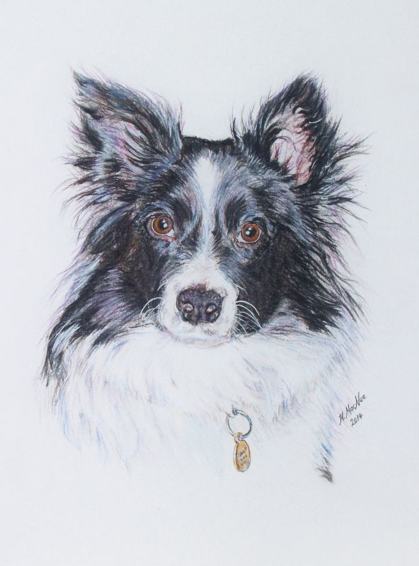 Mysty Border Collie