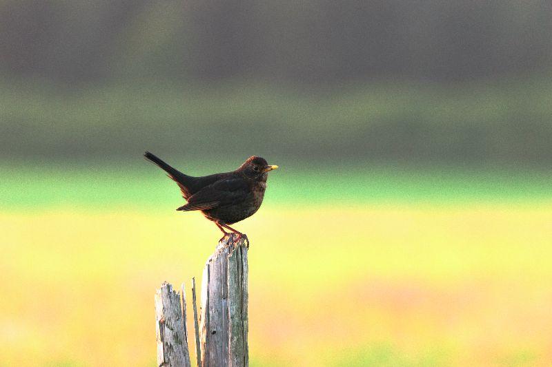 Blackbird Songbird