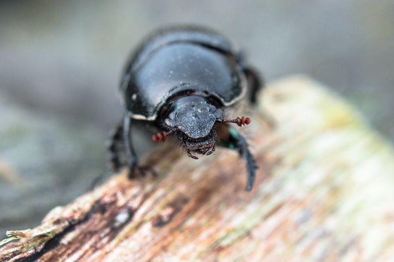 Dor Dung Beetle