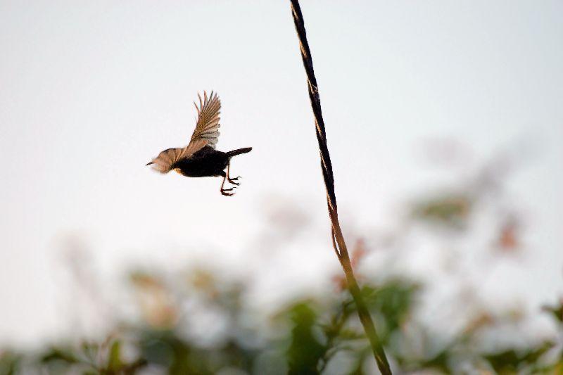 Wren Bird in Flight
