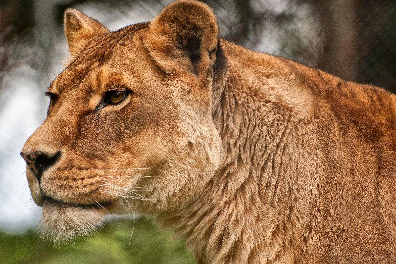 Josie the Lioness