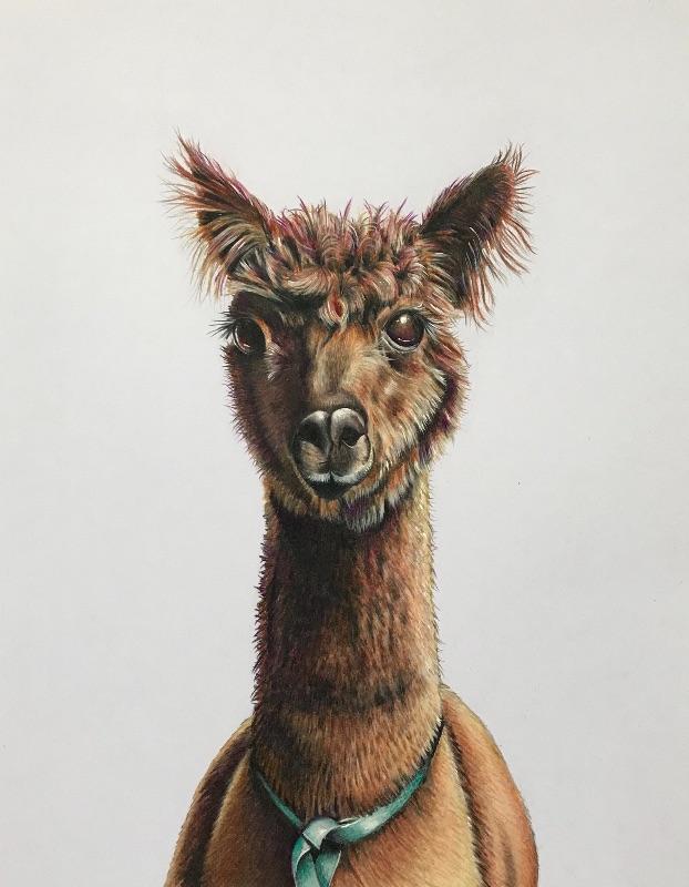 Alfie the alpaca