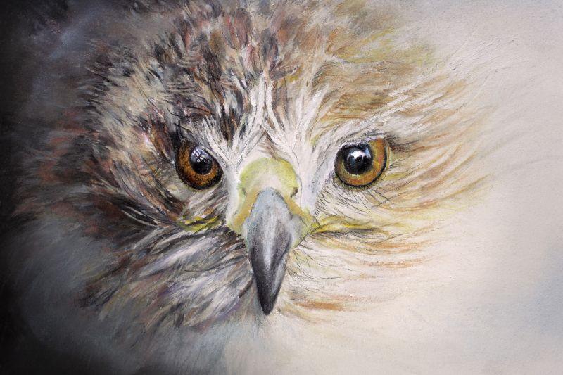 Fledgeling Hawk