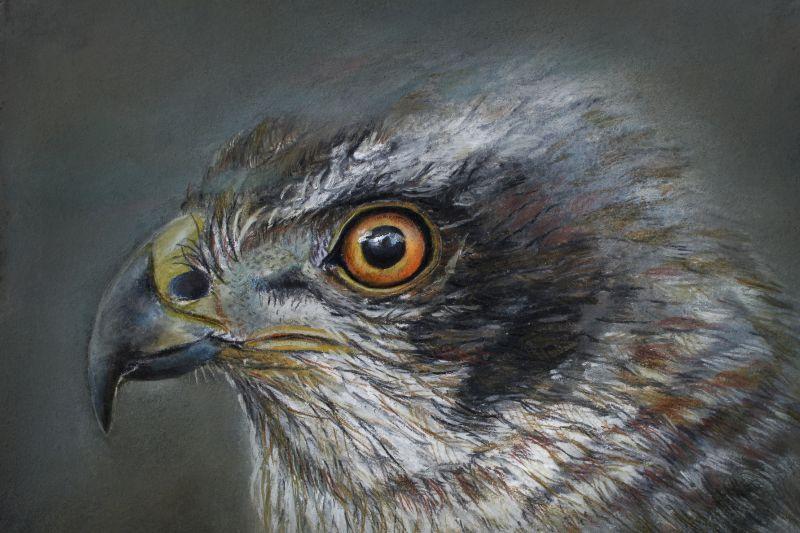 Noble Hawk