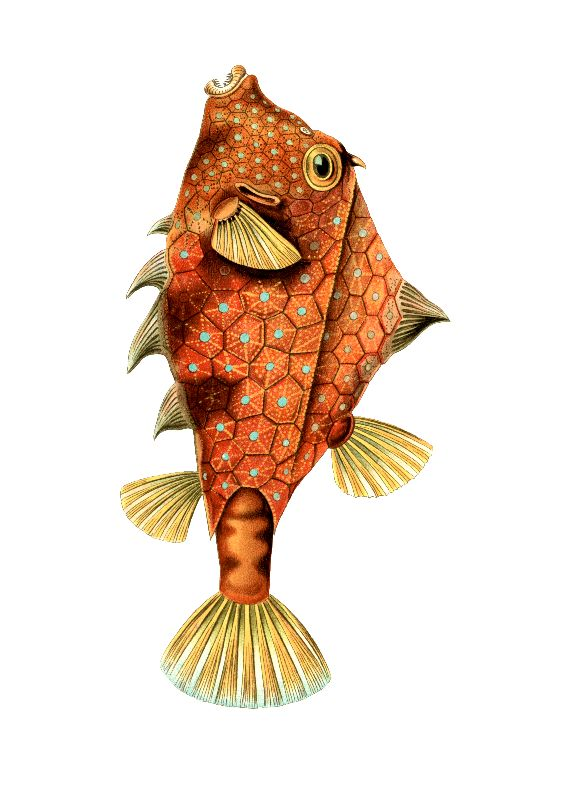 Boxfish by Ernst Haeckel